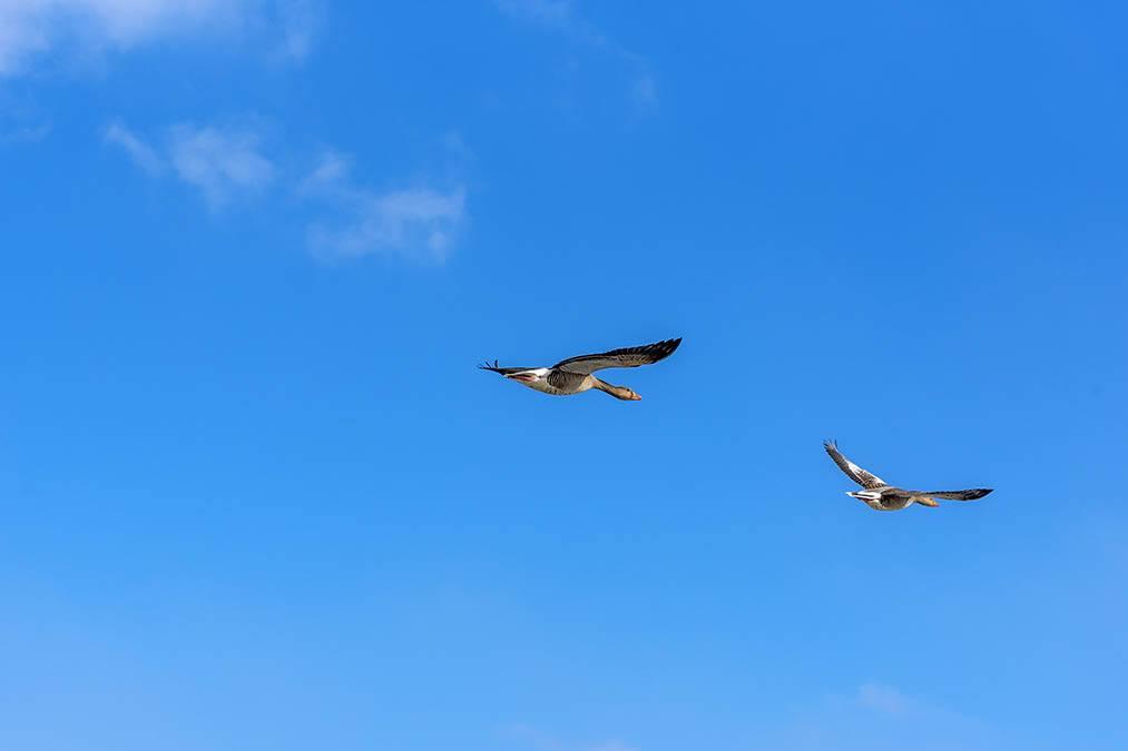 Twee ganzen tegen blauwe lucht