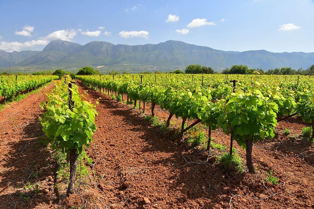 Wijnranken in Griekenland