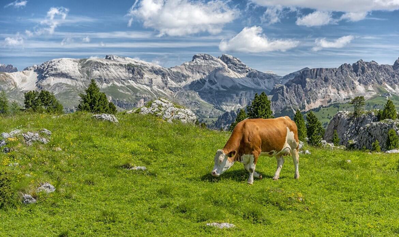 Koeien in Val di Sella, Dolomieten (Italie)